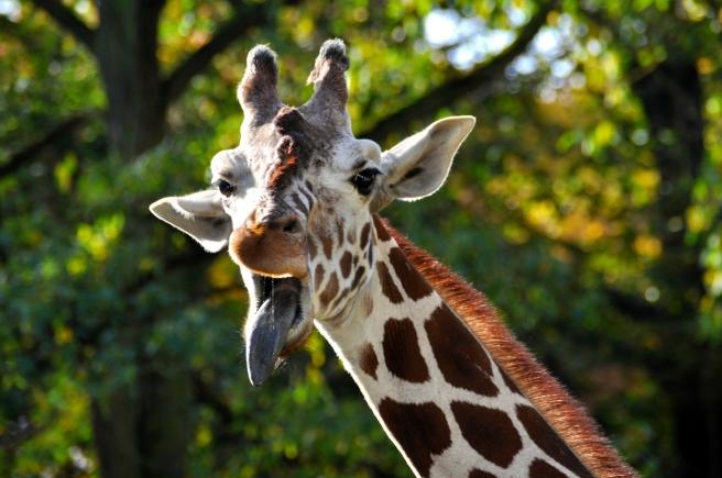 giraffe-272117_1920