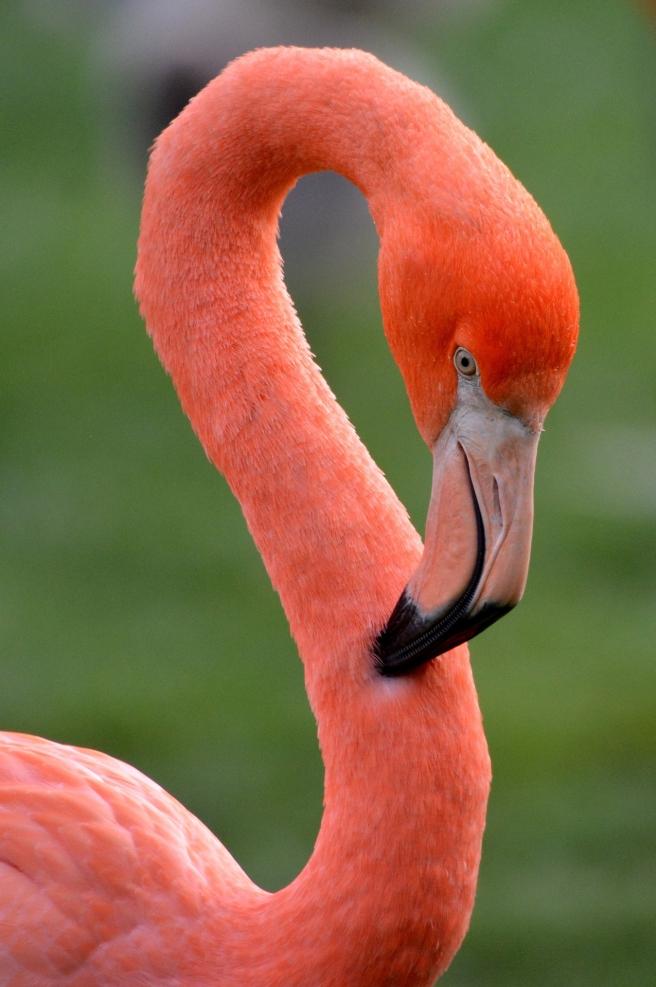 flamingo-1006249_1920
