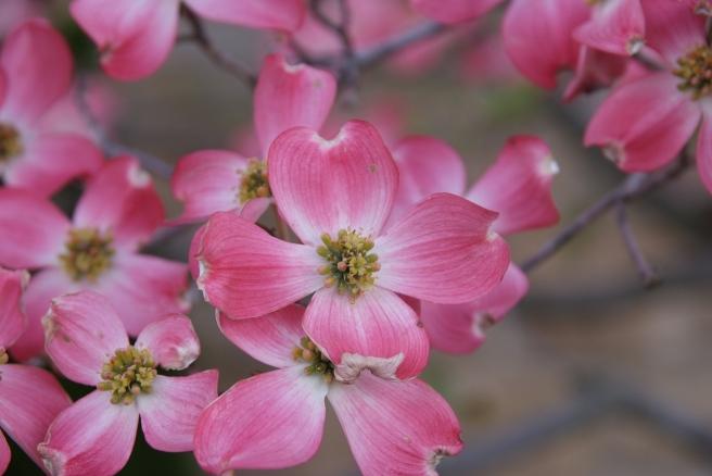magnolia-1208222_1920