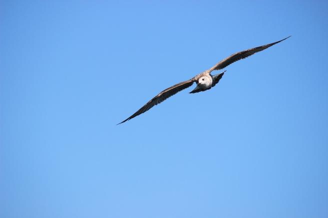 seagull-994483_1920