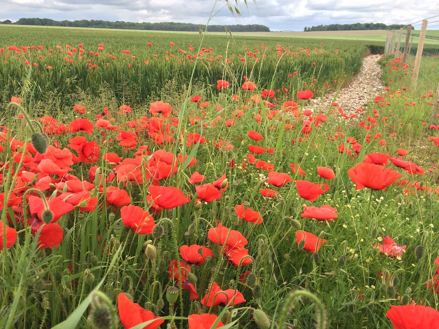 what color are poppies - 28 images - color of poppy