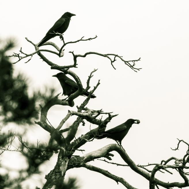 crow-1013050_1920