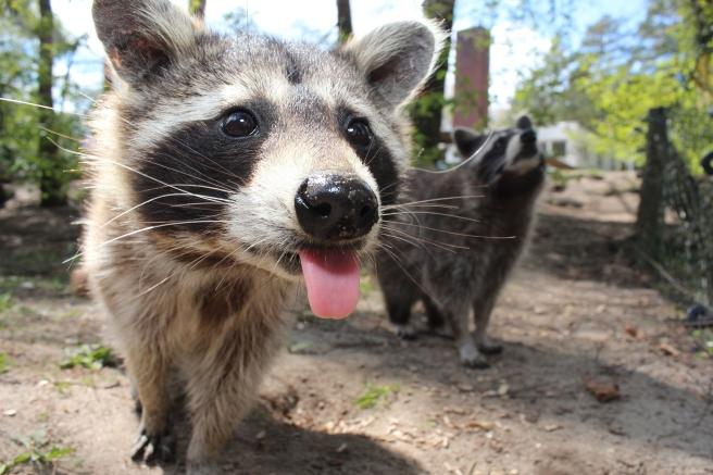 raccoon-750394_1920