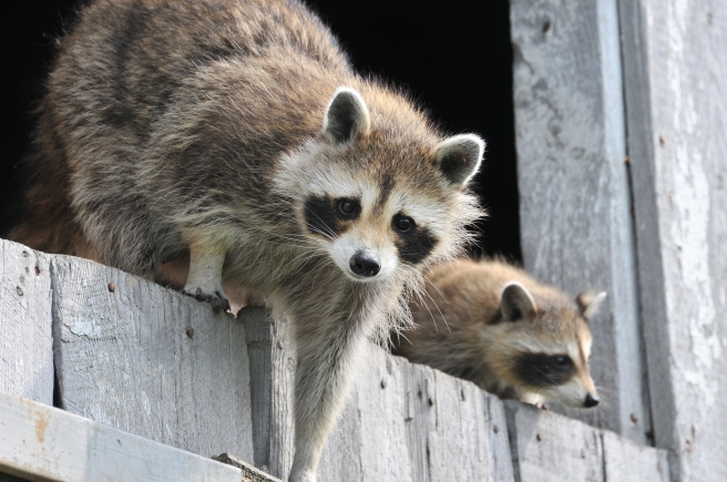 baby-raccoon-1056830_1920