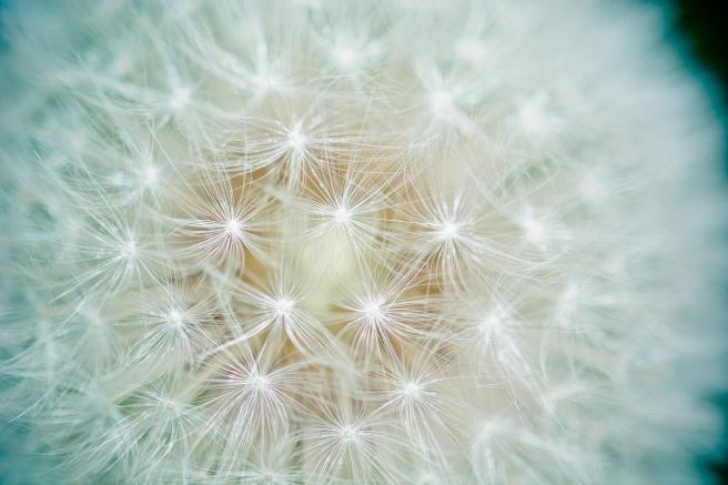 dandelion-1423174_1920