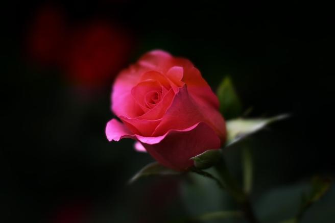 rose-402093_1920