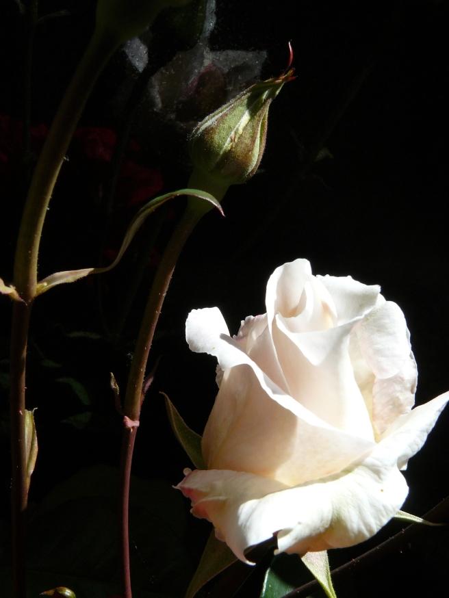 rose-1807227_1920