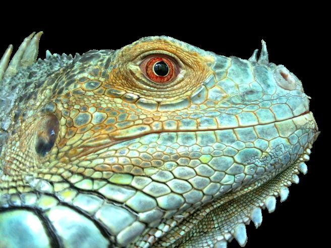 iguana-2479468_1920