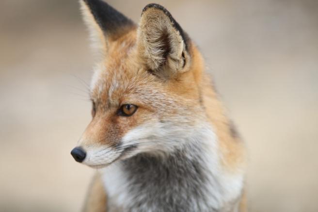 fox-2825118_1280