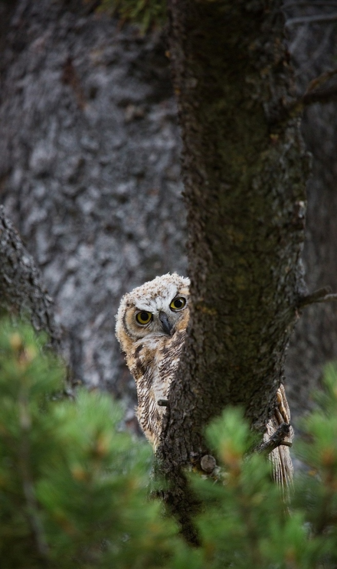 great-horned-owl-874770_1280