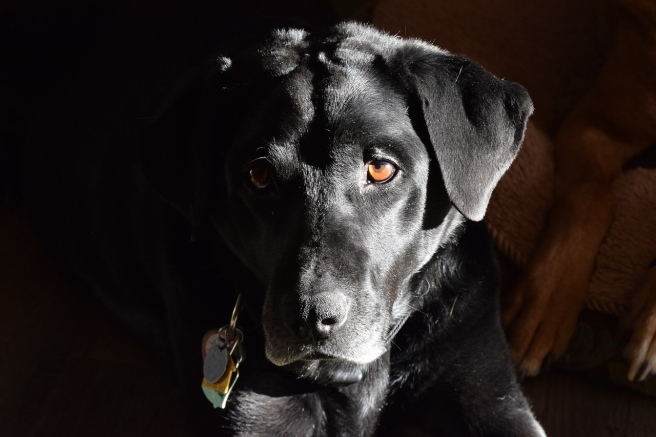 labrador-retriever-2417245_1280