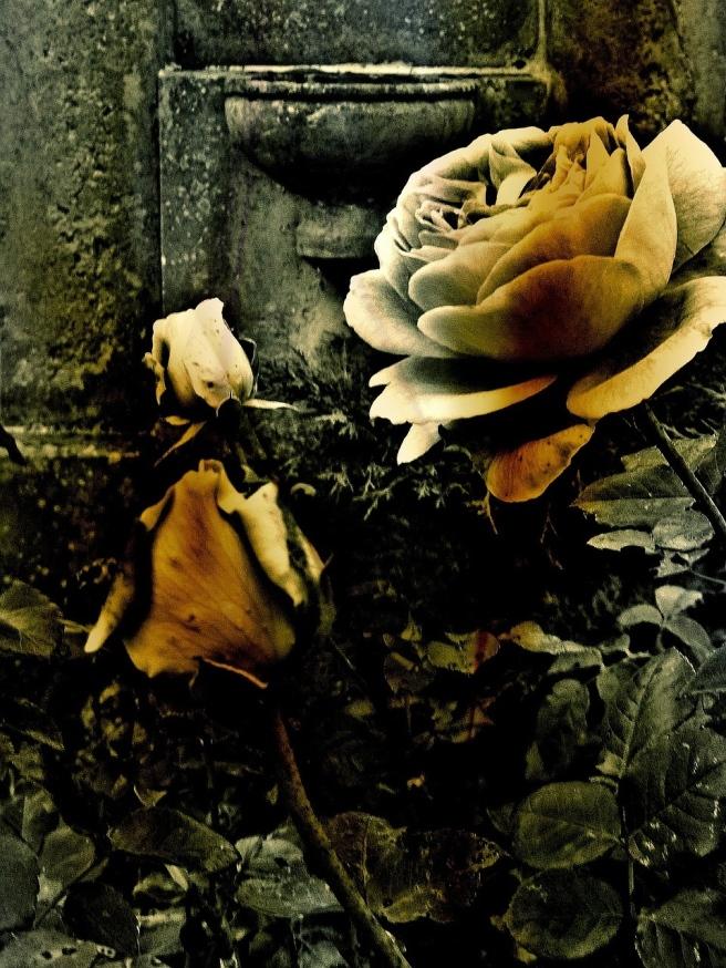 rose-216319_1280