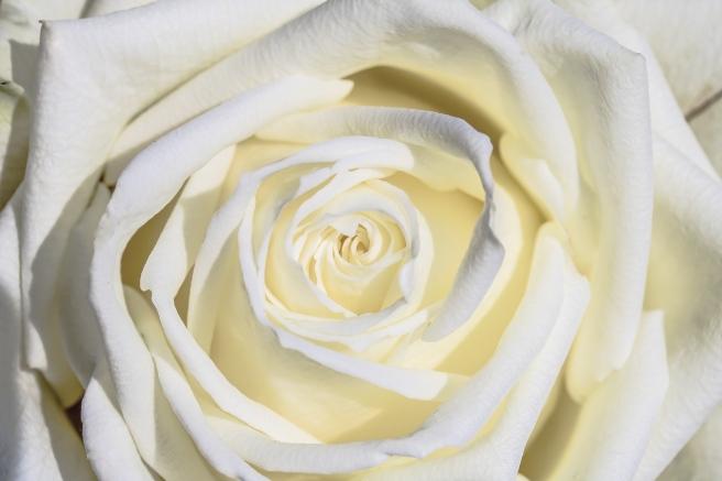 white-rose-3170283_1280