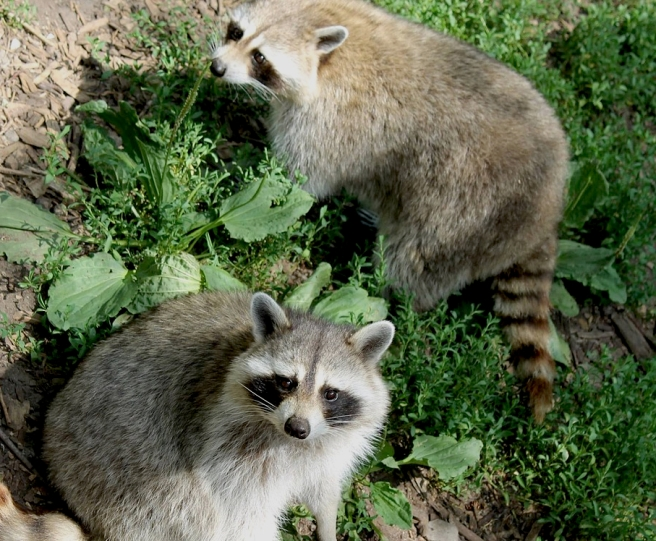 raccoon-1682838_1280
