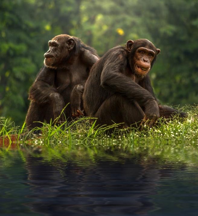 chimp-1822540_1280