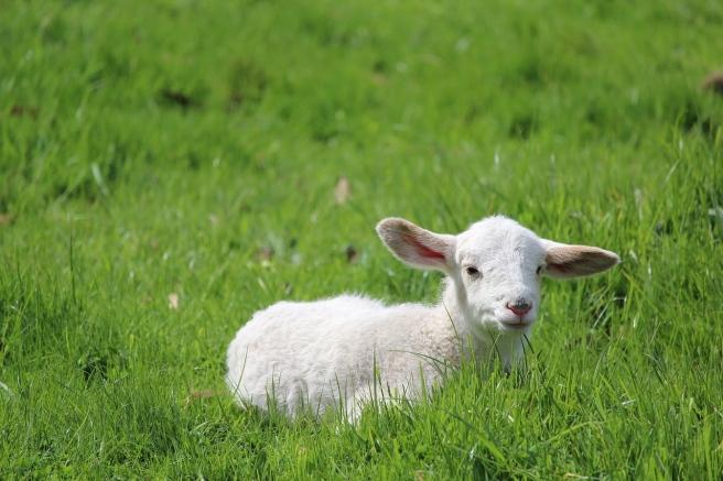 lamb-2855905_1280