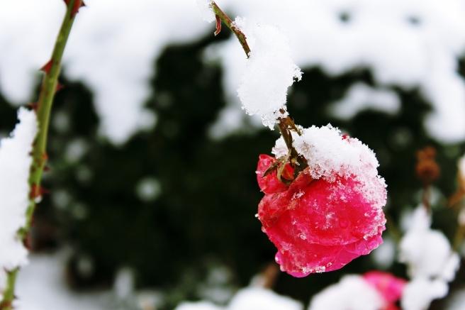 rose-1146368_1280