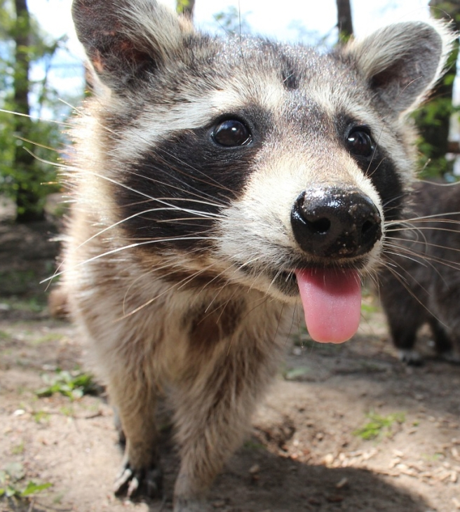raccoon-750394_1280