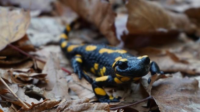 fire-salamander-3958840_1280