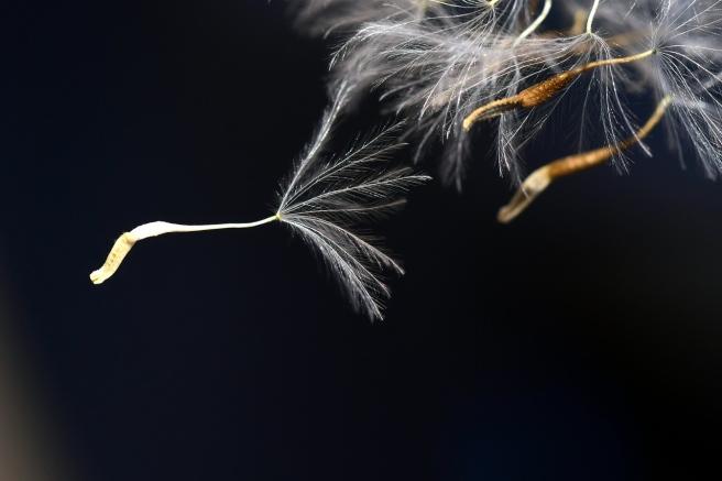 flying-seeds-2392579_1280