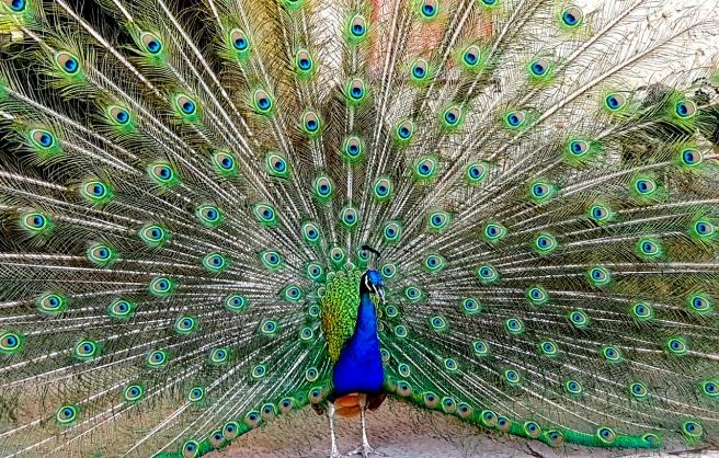 peacock-3381277_1280