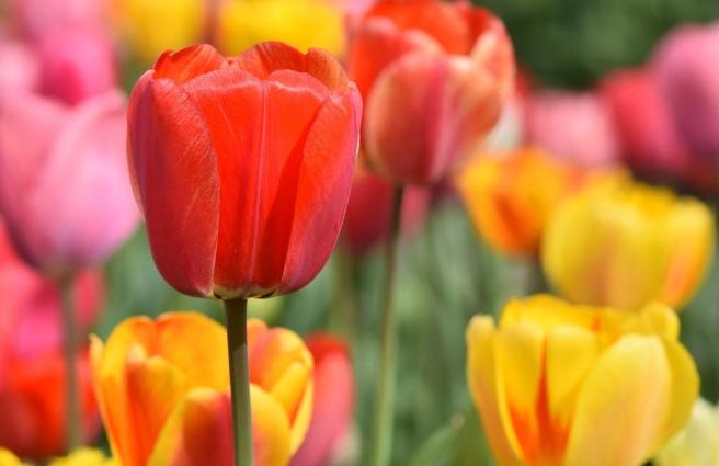 tulip-4322635_1280