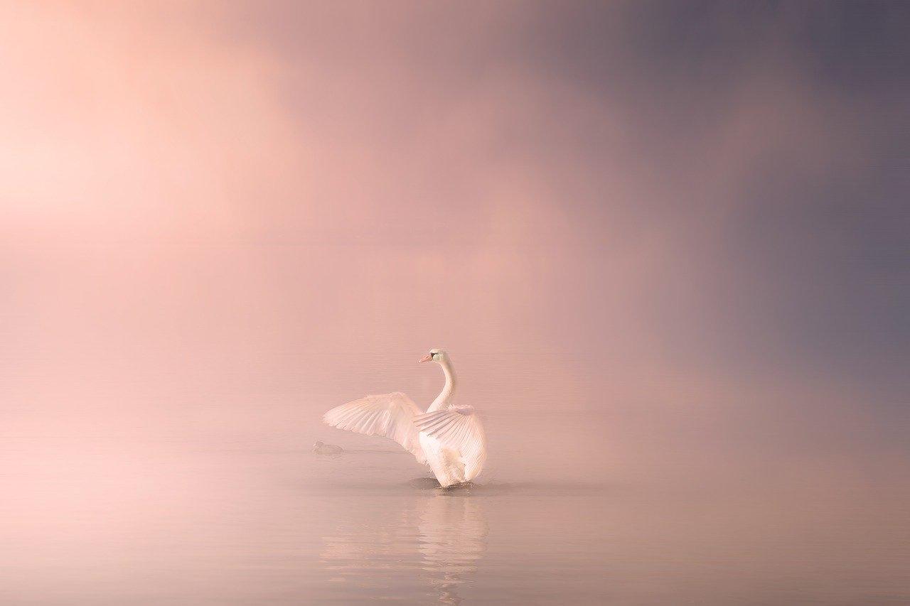 swan-4170400_1280