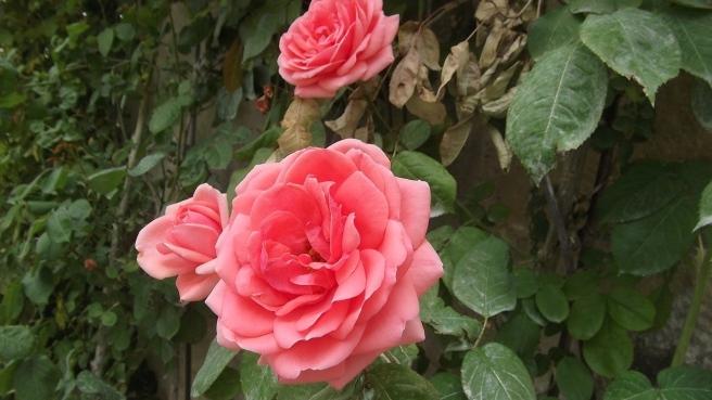 rose-1545165_1280